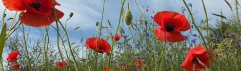 Wildkräuter-Blütenpracht