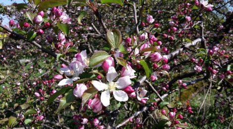 Wildapfelblüte