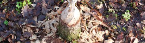Biberspuren an der Wasserburg Turow
